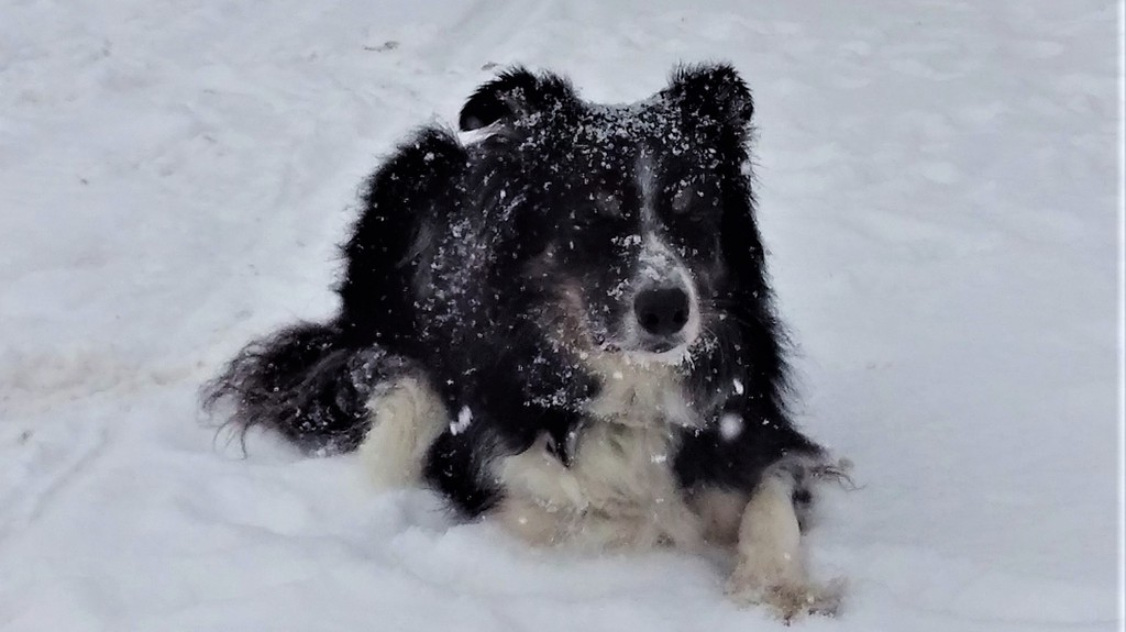 Having a high exercise needs dog is a great incentive to snowshoe in winter.