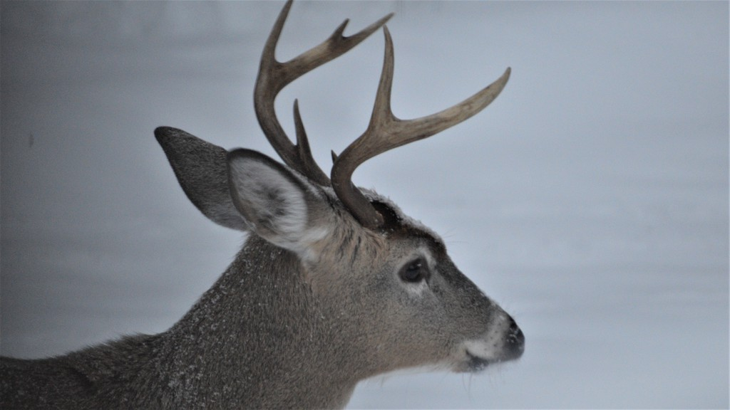 A white-tailed deer buck with antlers still intact in early winter. The number of white-tailed deer registered in New Brunswick was up slightly in 2020 due an increased harvest in the southern half of the province.