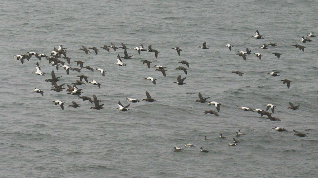 A flock of ducks migrate past the Point Lepreau Bird Observatory in April.