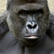 Did Cincinnati Zoo really have to kill a rare gorilla?