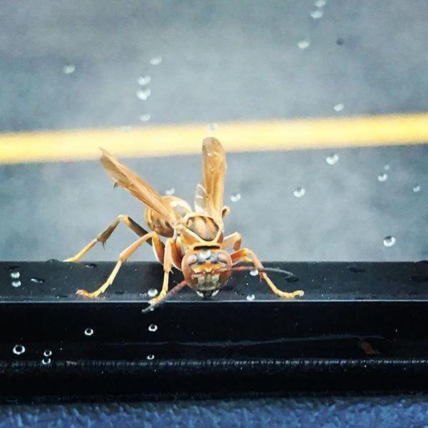 這隻是多年前在我車窗外短暫停留的飛行物,虎虎生蜂