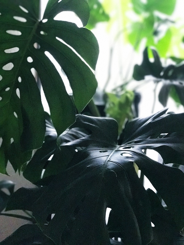 My split-leaf philodendrons are taking over a corner of my living room. You can spot a new leaf unfurling in the background.