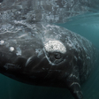 Noise Pollution May Be the Final Straw for a Critically Endangered Whale | Oceana