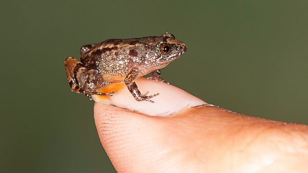 Scientists discover 4 species of tiny frogs in India - ABC News