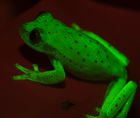 Groovy: Scientists Say They've Found The First Fluorescent Frog : The Two-Way : NPR