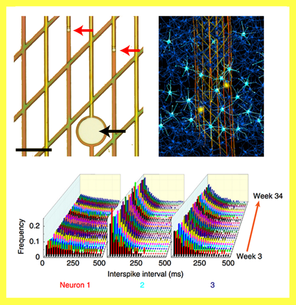 Top left: close up of the mesh sensors; Top right: mesh laced with neurons; Bottom: measurements of three individual neurons over 34 weeks (Credit: Lieber et al., NMETH.3969)