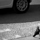 Bird brains and traffic accidents: Small-brained birds get killed by cars