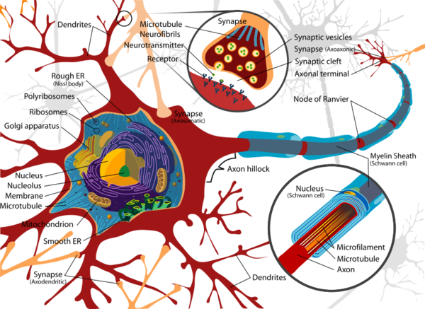 The neural cell body, dendrites, and axons (Credit: LadyOfHats)