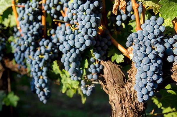 Six world famous Merlot wines - Decanter