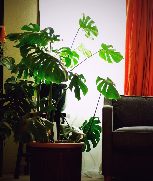 I have a new camera - the Fuji XPro2 - and I tested it on my split-leaf philodendron. I've divided the plant up (it has doubled in size since I first purchased it), up-potted it twice & it STILL seems intent on taking over that corner of the living room.