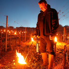 The worst frost in decades knocks British winemakers off course