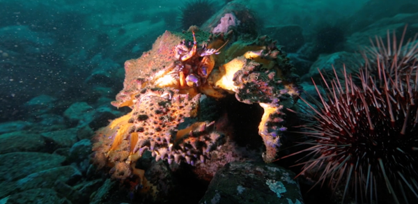 Under the Dock: Puget Sound King Crab | Hakai Institute