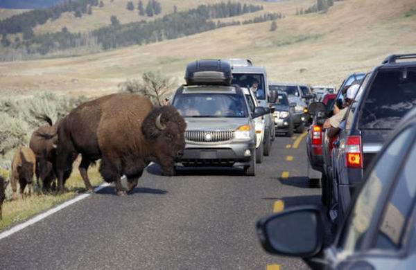 Bison rams, injures couple at Yellowstone National Park - SFGate