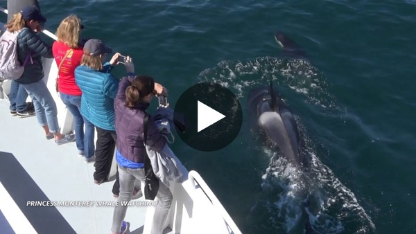 Killer Whales close to the boat! Monterey Bay, California 5/1/17 - YouTube