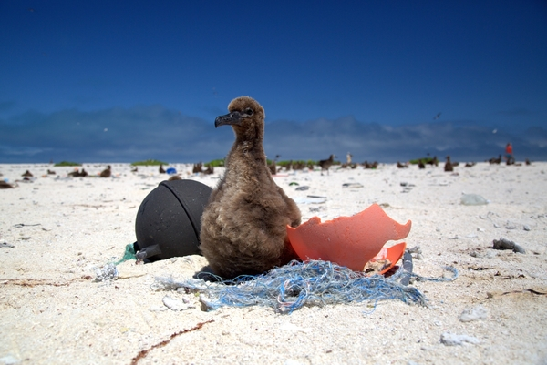 On a remote island, baby albatrosses suffer from a diet of plastic trash | Oceana