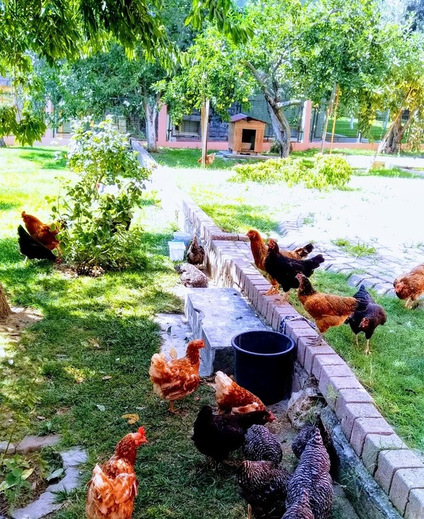 Chicken. Ultimate garden sanitizer.