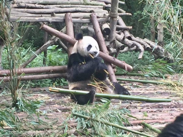 We saw a lot of pandas, but this was one of my favorites.