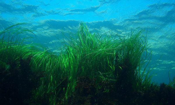 Celebrating a Win for Seagrass in California - Ocean Conservancy