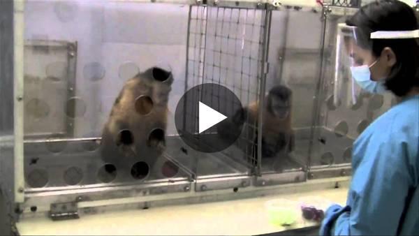 Eşitsizlik ile karşılaşan maymunlarla ilgili davranışsal bir inceleme...