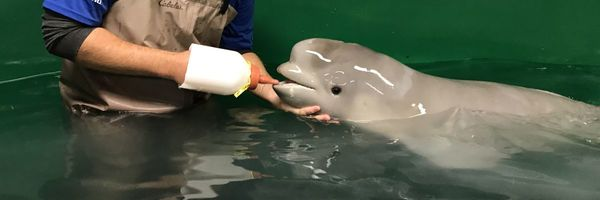 The tale of a rescued Cook Inlet beluga whale - Alaska Dispatch News