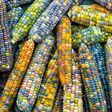Thanks to seed savers, Glass Gem corn exists
