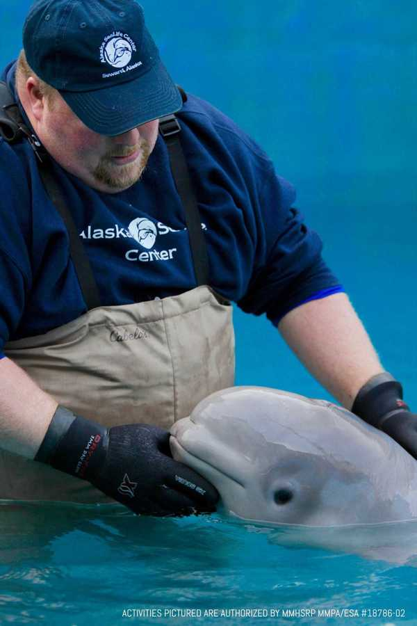 This adorable baby beluga slurps, head-butts and clicks at its rescuers - SFGate
