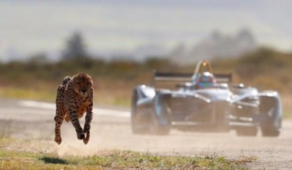 Elektrische Formule E raceauto vs jachtluipaard: wie is sneller?`