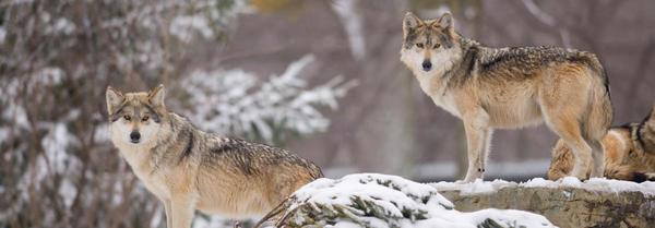 How Wolves Shape the Natural World