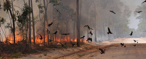 3. Forscher haben eine Vogelart entdeckt, die Feuer legt