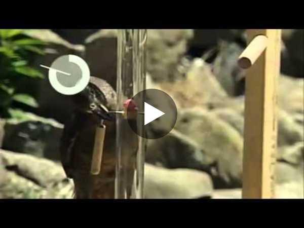 Bird Intelligence: The New Zealand Kea - YouTube