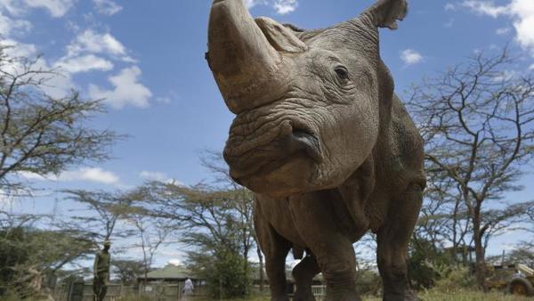 Kenia/ Śmierć ostatniego samca nosorożca białego północnego | Nauka w Polsce