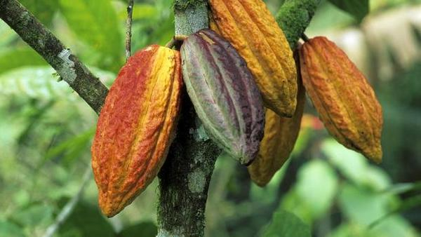Ritter Sport besitzt die größte Kakao-Plantage weltweit – und bewirtschaftet sie fair