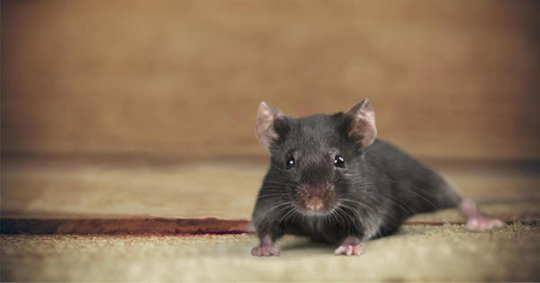 New York City mice carry drug-resistant bacteria, study finds - CBS News