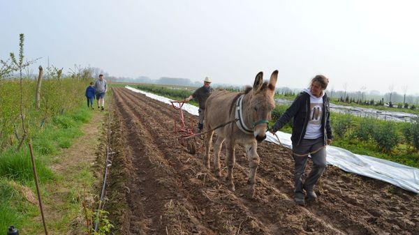 L'agriculteur Laurent Hulsbosch travaille la terre avec des ânes plutôt qu'un tracteur - Laurent Hulsbosch bewerkt zijn land met ezels