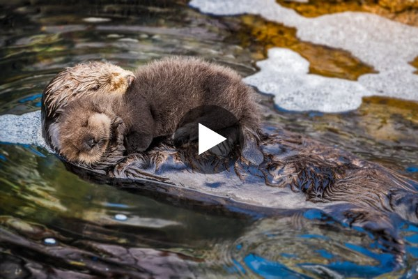 Mom and new born sea otter pup getting to know each other! - YouTube