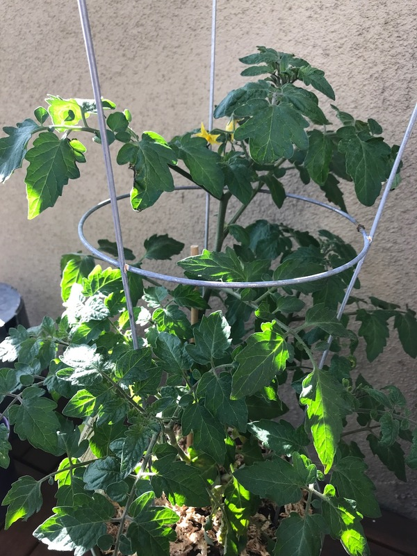 I had my boyfriend take this photo for me, because I forgot to take one before I flew out! This is the tomato plant from a few issues ago. It has doubled in height and you can see a few yellow flowers just peeking through up on the top.