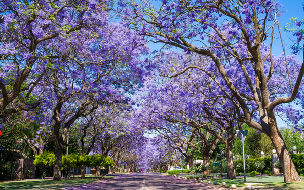 Where Did All the Jacaranda Trees in Los Angeles Come From?