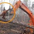 Indonésie : un orang-outan attaque le bulldozer qui rase sa forêt