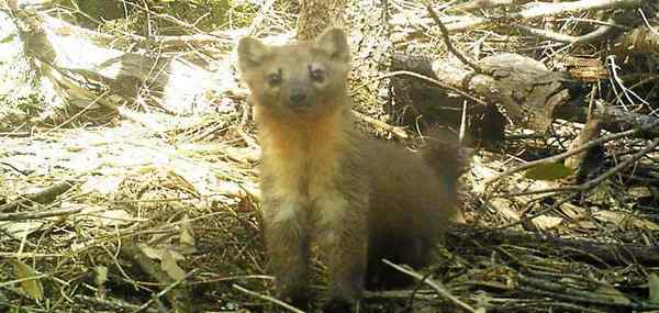 'Super cute and super ferocious' Humboldt marten may get endangered species status