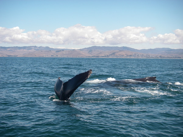 Humpback whales are back in the waters off SLO County | The Tribune