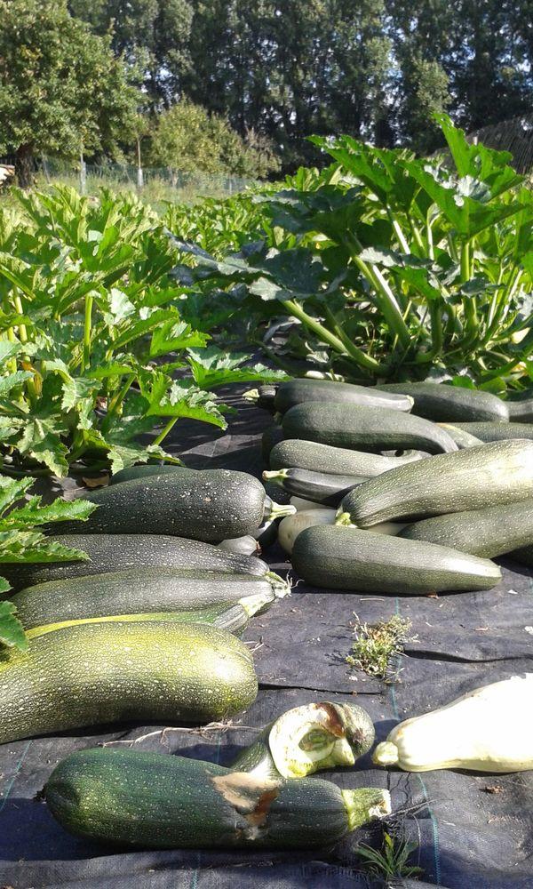 Courgettes van onze zelfoogstboerderij