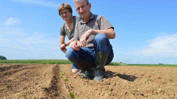 Les Couvreur cultivent encore du tabac, patrimoine d'une région - Tabaksteler wil traditie levend houden