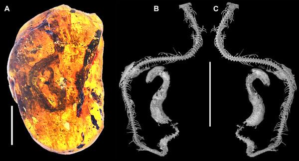 W tym bursztynie od 100 mln lat tkwi wąż. Niedługo po wykluciu się z jaja na jednej z wysp Oceanu Indyjskiego pełzł sobie po pniu drzewa, kiedy nagle unieruchomiła go żywica. Szybko zakończył żywot, ale przejdzie do historii jako najstarszy na świecie wąż zatopiony w bursztynie, pochodzący z ery dinozaurów. Znaleziono go niedawno na wybrzeżu Mjanmy (dawniej Birma). Fot. Ming BAI, Chinese Academy of Sciences (CAS)