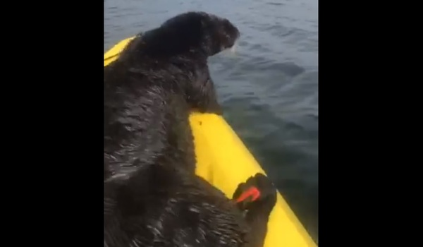 Video: Sea Otter Commandeers Woman's Kayak and Hitches a Ride | OutdoorHub