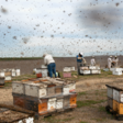 What is the future of bees?