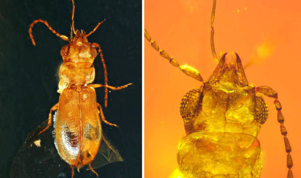 Amazingly preserved remains of 99 MILLION-year-old beetle found in amber | Science | News | Express.co.uk