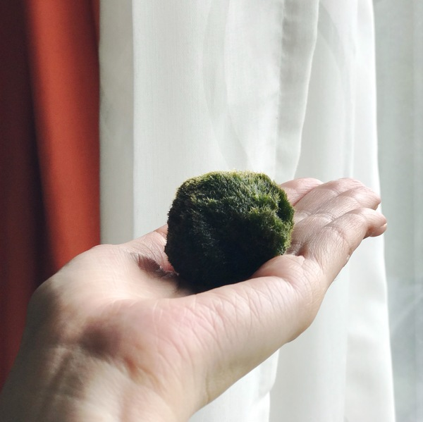 This little moss ball has been on my plant list for a while. I'm excited to welcome it to its new home and also figure out how the heck I'm going to design it! Care is really easy: put it in water. Replace water once a week. It can even grow in office light conditions!