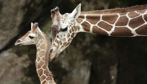 In den letzten 10 Jahren wurden fast 40.000 Giraffen-Teile in die USA importiert