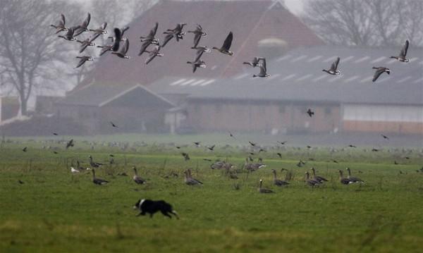 'Door ganzenschade kon ik mijn beesten niet meer voldoende voeden'