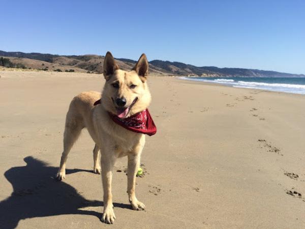 Kodi, who belongs to loyal reader Crystal, sports his adventure bandana at Rodeo Beach in Marin. Get that adventure, Kodi!